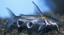 "Salt Water. Black Fin Sharks 4"" plus Marine Aquarium Adapted"