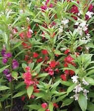 Balsam Mixed Colors Impatiens Balsamina  100 Seeds Flower Color Free Shipping