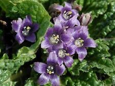 MANDRAGORA autumnalis plant MAGIC 25 seeds seeds