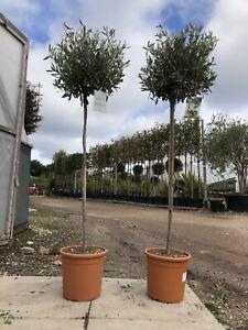 Pair of Standard Olive 140cm