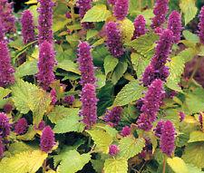 Anise Hyssop Golden Jubilee Agastache Foeniculum - 20 Seeds