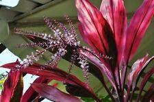 15 seed Cordyline Cordyline fruticosa stunning laef plant easy grow rare seed