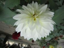 Unique White Dahlia 100 Seeds Flowers Homes Gardening Plants Big Blooms Charming