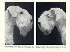 SEALYHAM TERRIER HEAD STUDIES TWO NAMED CHAMPION DOGS OLD 1934 DOG PRINT