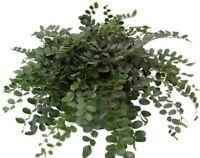 "Pellaea Rotundifolia Plant Button Fern Unusual Easy to Grow 4""Pot Live Houseplan"