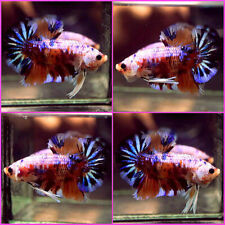 New listing Live Betta Fish Fancy Nemo Blue Purple Galaxy Koi Halfmoon Plakat Hmpk Male C433