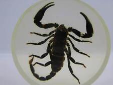 Echter Skorpion Palamnersus in Kunstharz gegossen - Bierdeckel - Briefbeschwerer