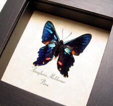 Real Framed Ancyluris Meliboeus The Meliboeus Swordtail Butterfly 616