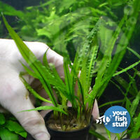 Cryptocoryne balansae Live Aquarium Plants **BUY 1 GET 1 at 50% OFF**