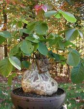 "Pseudobombax Ellipticum bombax exotic shaving brush tree bottle bonsai plant 6"""