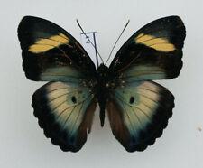 TOG11 A+// A  Euphaedra phasthusa Forester Papilio
