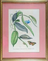 Framed Antique Engraving, Maria Sibylla Merian, Volubilis Siliquosa Mexicana