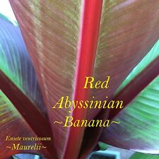~Red Abyssinian~ Rare Red Banana Tree Ensete Maurelii Live Potted 2 Plants