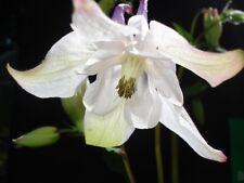 Aquilegia 'Sugar Blush' 150+ seeds *END OF SEASON DEAL* - Hardy Perennial