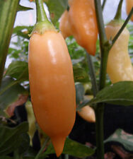 25+ Premium Hand Selected Aji Melocoton Pepper Seeds-E 035
