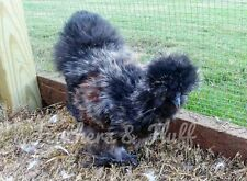 12+ Fertile Silkie, Satin, and/or Showgirl Hatching Eggs (possible frizzles)