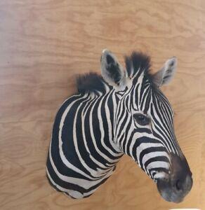 African Burchelli Zebra Shoulder Mount Trophy Grade