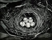 1959 Vintage ANSEL ADAMS Bird Nest Egg Nature Wild Animal Photo Gravure Art 8X10
