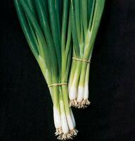 500 Seeds Bunching Onion White Spear Green Onion Seeds