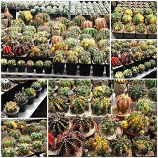 50 SEEDS FREE SHIPPING Gymnocalycium mihanovichii variegata hybrids