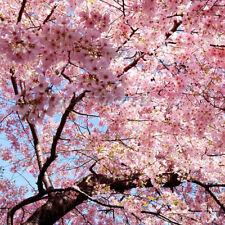 Japanese Cherry Blossom Tree SEEDS Prunus Serrulata Pink Flower Seedlings BN
