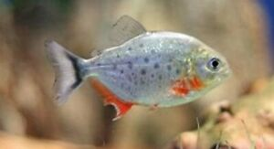 6 Red Belly Piranha Fry Babies Live Freshwater Aquarium Fish