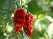 NAGA MORICH pure seeds