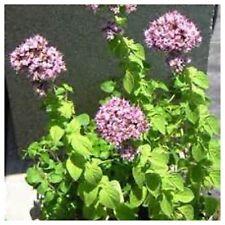 oregano genovese vegetable herb Plant Live Plant Aromatic Foliage!