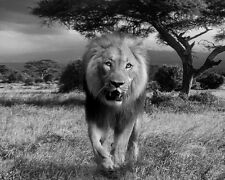Wild Lion Big Cat King of the Jungle Nature Beast BW Photo Picture Photograph