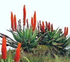 Aloe Ferox exotic bitter medicinal gel succulent rare desert plant seed 10 SEEDS