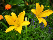Aztec Gold Daylily These are small starter plants less than 12 inches.