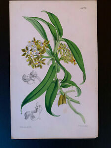 Curtis's Botanical Magazine; Print #4772, Saccolabium denticulatum (orchid) 1854