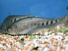 "x3 CLOWN KNIFE FISH PACKAGE 3"" - 4"" EACH - LIVE FRESHWATER - FREE SHIPPING"