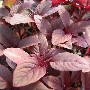 Baby Leaf 1440 Amarath Red Army - UK Seller