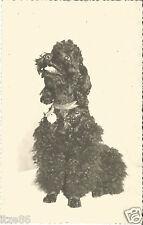Hund, Pudel, Porträt, alte Privat-Foto-Ansichtskarte um 1930