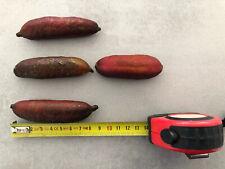 GROS CITRON CAVIAR Finger Lime 5 Graines / Pépins Microcitrus Australasica