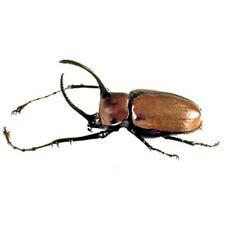 One Real Golofa Porteri Rhinoceros Rhino Beetle Peru Unmounted Packaged