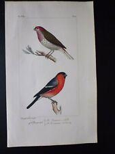 Gravure couleur 19°:oiseaux d'Europe:dans l'esprit Buffon:Bouvreuil commun