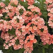 Verbena- Nana Compacta- Apricot- 50 Seeds
