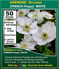 Poppy Anemone de Caen WHITE -50x Bulbs