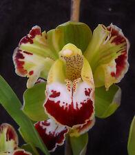 Cymbidium Vidar Harlequin,  orchid plant
