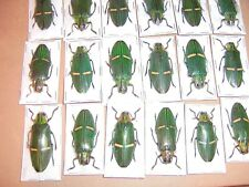 Catoxantha opulenta Green Yellow Striped Jewel beetle 10 Lot Nice Specimens