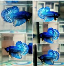 New listing Live Better Fish. Blue and Yellow Hellboy