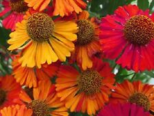100 Helenium Autumn Leaves Flower Seeds Mixed Colors + Gift & Comb S/H