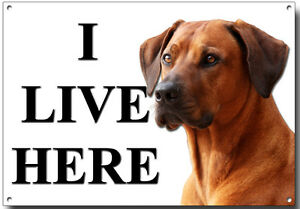 RHODESIAN RIDGEBACK I LIVE HERE METAL SIGN (A4 SIZE) SECURITY,WARNING,GUARD DOG