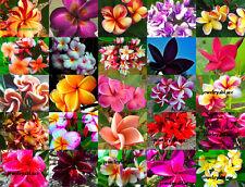 "Plumeria/Frangipani/Flowers/Plants/""Mixed""/ 350 seeds!!"