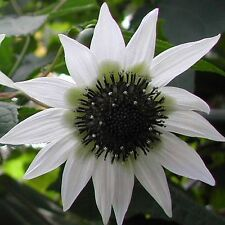 "New listing Extremely rare - White ""Tree Sunflower""! - Rojasianthe superba"