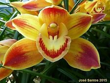 Cymbidium Amarillo Cadilac, planta de orquídea,