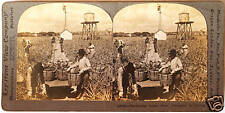 Keystone Stereoview Harvesting Pineapples in FLORIDA FL  From a 72 Card Set