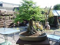 Bonsai World's Tallest Tree Fresh Seeds Produced and Shipped From Canada